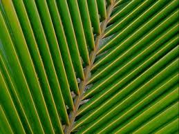 Fogli di palma